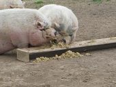 picture of pot bellied pig  - two white pot - JPG