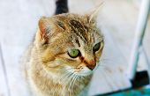 Tabby Cat Cat Head Looking Big Cats Eyes Young Cat poster
