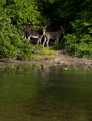 pic of jack-ass  - beautiful donkeys next to a lake in a wildlife landscape at the countryside Antigua  - JPG