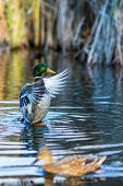 Drake Duck Beautifully Spreads His Wings And Female Mallard Duck, Blurred, Swims In Front Of It In A poster