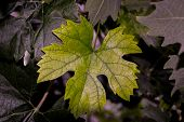 Grape Leaf Isolated. Collection. Full Depth Of Field.grape Leaf On Branch With Tendrils Isolated.gra poster