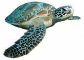 stock photo of turtle shell  - a green sea turtle  - JPG