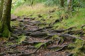 Forest Path With Tree Roots Entangling The Path poster