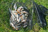 Catch Of Fish In Net Basket On Green Grass By The River. Many Roaches On Fishing Net. Fishing Concep poster