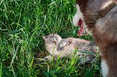 Dog Attacked Cat. Cat Is Protected From The Aggressive Red Dog. Cat Scratches Attacking Dog. Husky C poster