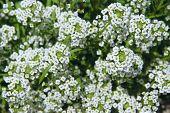 White Flowers Of Lobularia Maritima Blossoming In Garden. Sweet Alyssum Or Lobularia Maritima. White poster
