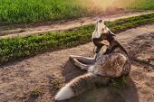Dog Scratching Itchy Ears. Siberian Husky Is Scratching His Ear On The Walk. poster