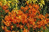 pic of northern hemisphere  - Lilies or Lilium is a genus of herbaceous flowering plants growing from bulbs - JPG
