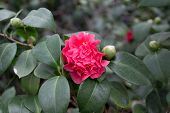 Camellia Flower Blooming On The Springtime In Park poster