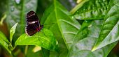 Side View Of A Sara Longwing Butterfly, Tropical Insect Specie From The Amazon Basin Of America poster