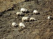 Herd Of Sheep Grazing In The Mountains. poster