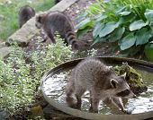 stock photo of triplets  - Three baby raccoon triplets invade the garden birdbath - JPG