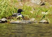 picture of loon  - A common loon sits on her nest on a wilderness lake - JPG