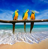 Tropical vacation concept - three parrots (Blue-and-Yellow Macaw (Ara ararauna) also known as the Bl
