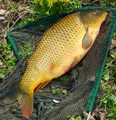 Catching fish - start of fishing season.  The common carp in a landing net.