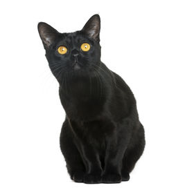foto of american bombay  - Bombay cat sitting and looking up - JPG