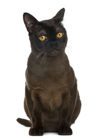 stock photo of american bombay  - Bombay cat sitting and looking away - JPG