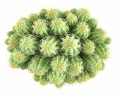 pic of peyote  - Plant bush - JPG