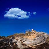 picture of juniper-tree  - Mediterranean twisted dried juniper tree trunk in Formentera beach dune - JPG