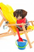 stock photo of long hair dachshund  - Wire haired dachshund in beach chair isolated over white background - JPG