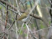 picture of ovenbird  - Ovenbird Perched on branch hiding or looking for food