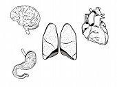 Human Organs poster