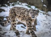 stock photo of cougar  - Beautiful Snow Leopard on a snow covered rocks - JPG