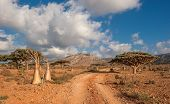 stock photo of desert-rose  - Image of Desert rose tree Socotra Island Yemen - JPG
