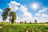 foto of cassava  - Tree and cassava field on blue sky background - JPG