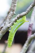 foto of cocoon tree  - green worm on a tree branch in Thailand