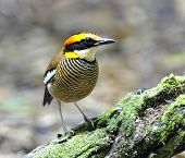 picture of belly-band  - Beautiful Female of Banded Pitta bird  - JPG