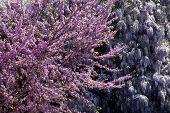 image of judas  - Judas tree leaves and flowers Purple Wisteria - JPG