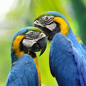 picture of green-winged macaw  - Pair of Blue and Yellow macaw about to kiss each other with nice blur green background macaw bird - JPG