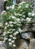 pic of meadowsweet  - Spirea twig hanging down from behind the fence in Bulgaria - JPG