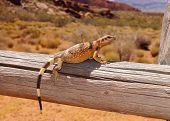 picture of lizards  - Colorful lizard on a fence post in a desert landscape  - JPG