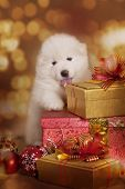 stock photo of christmas dog  - Samoyed puppy dog with gifts in front of Christmas background - JPG