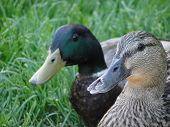 picture of male mallard  - Male mallard duck protecting a female duck - JPG