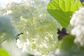 picture of hydrangea  - Smooth hydrangea (Hydrangea arborescens) L. f.