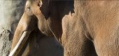 foto of indian elephant  - Brown Indian or Asian Elephant on a sunny day - JPG
