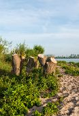 pic of early morning  - Large willow trees have been cut down on the bank of a wide Dutch river - JPG