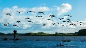 picture of canada goose  - Some Canada goose fly over a lake - JPG
