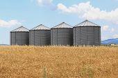 image of silos  - Four Steel Grain Silo Towers in Wheat Field - JPG