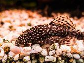 stock photo of catfish  - Female Ancistrus fish  - JPG