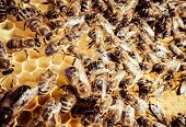 image of swarm  - Bee swarm  - JPG