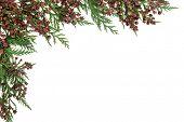 Постер, плакат: Cedar cypress leyland abstract border over white background