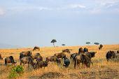 pic of antelope  - Beautiful african landscape with wildebeest antelopes in Masai Mara Kenya at sunset time - JPG