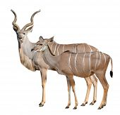 stock photo of greater  - greater kudu isolated on a white background - JPG