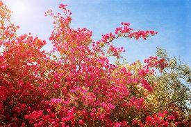 picture of azalea  - Big bush blooming pink flowers azaleas - JPG