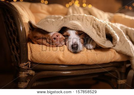 poster of Dog Jack Russell Terrier And Dog Nova Scotia Duck Tolling Retriever .