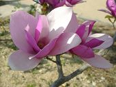 stock photo of japanese magnolia  - beautiful flower of japanese magnolia - JPG